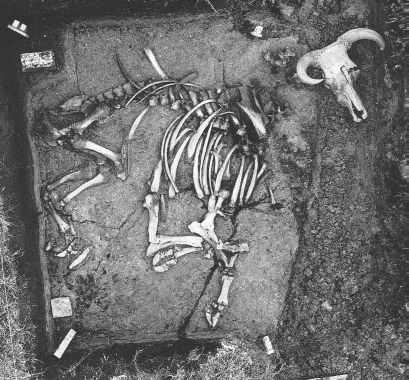 The Aurochs from  Prejlerup during excavation