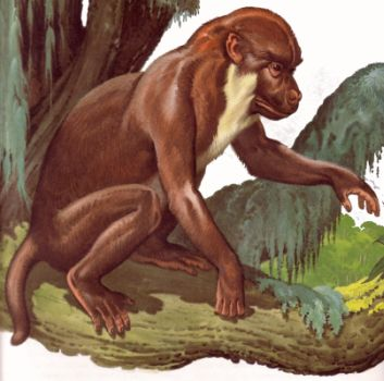 Reconstruction of Aegyptopithecus Zeuxis.