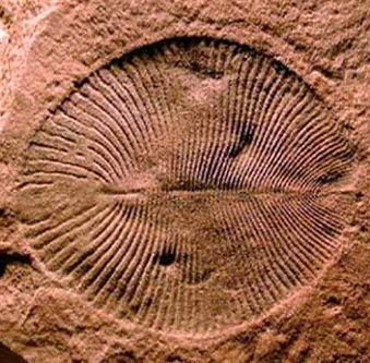 A fossil of dickinsonia from the Ediacaran period