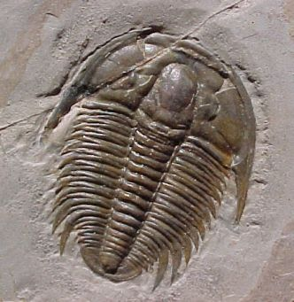Typical Trilobite fossil from Cambrian