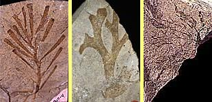 Fossils of algae from Ordovician