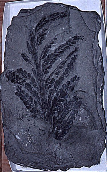 Fossil of a plant from Silurian