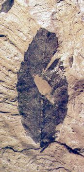Petrified leaf from Cretaceous, which resembles a leaf from beech