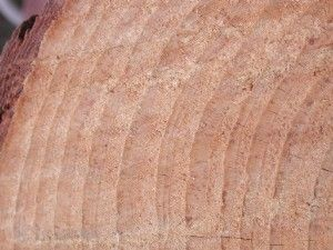 Growth rings in tree trunk